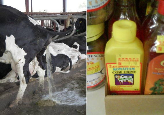 cow-urine-web2