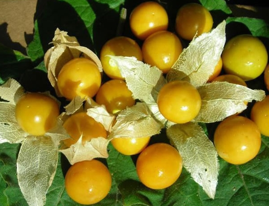 Golden berries for better health