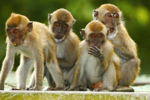 macaque_group